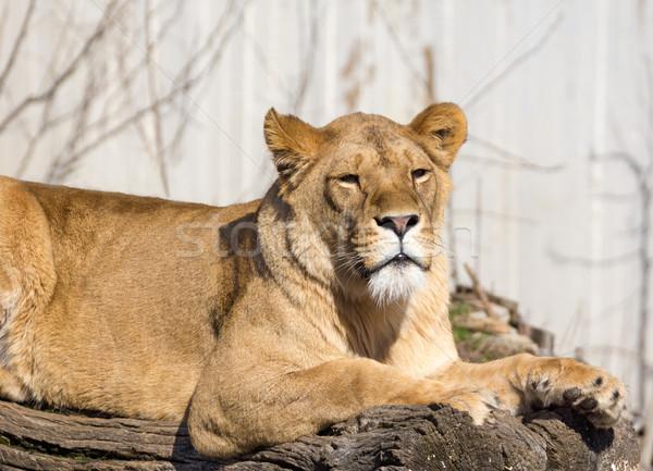 Boom leeuw dierentuin zoogdier groot Stockfoto © oorka