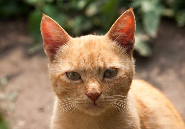 Macska portré narancs állat díszállat szőr Stock fotó © oorka