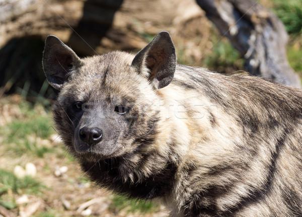 Hyena Stock photo © oorka