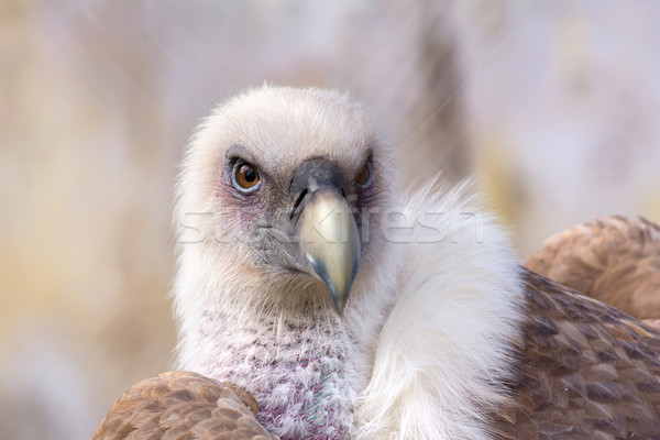 Griffon Vulture Stock photo © oorka