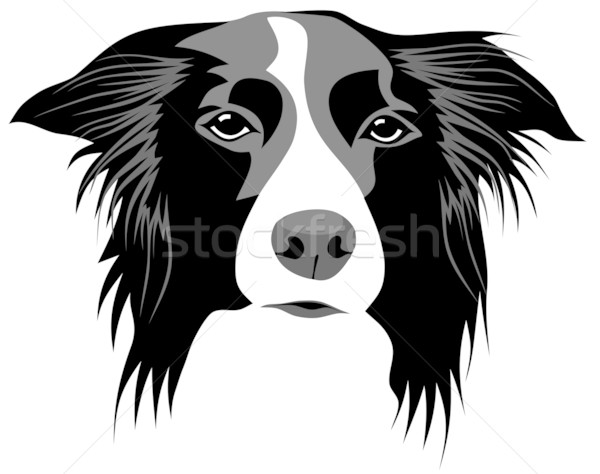 Border collie Stock photo © oorka