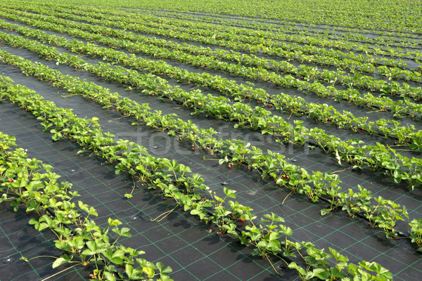 Aardbei planten boerderij veld voedsel Stockfoto © oorka