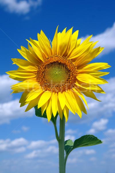 Sunflower Stock photo © oorka