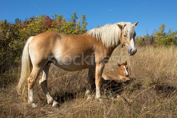 Mare and foal Stock photo © oorka