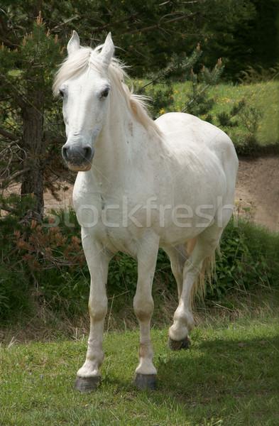 At beyaz at doğa hayvan memeli aygır Stok fotoğraf © oorka