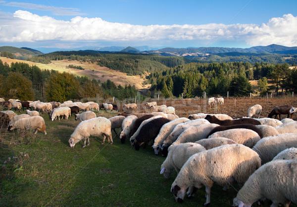 Schapen kudde uit voorjaar veld boerderij Stockfoto © oorka
