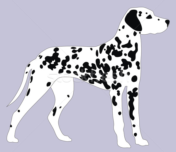 Dalmatian dog Stock photo © oorka