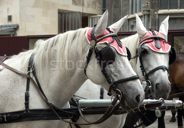 Carriage horses Stock photo © oorka
