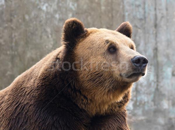 Medve barnamedve pihen kövek állat közelkép Stock fotó © oorka