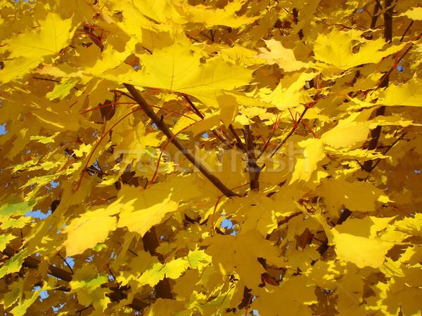 Leaves leaf autumn Stock photo © oorka