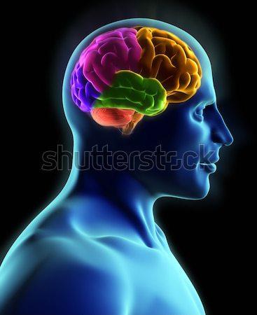 Hersenen menselijke lichaam Xray kijken 3d render Stockfoto © orla