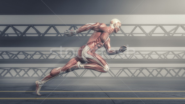 Muscular system Stock photo © orla