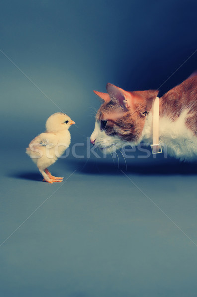 Or chiches chat permanent amis Photo stock © orla