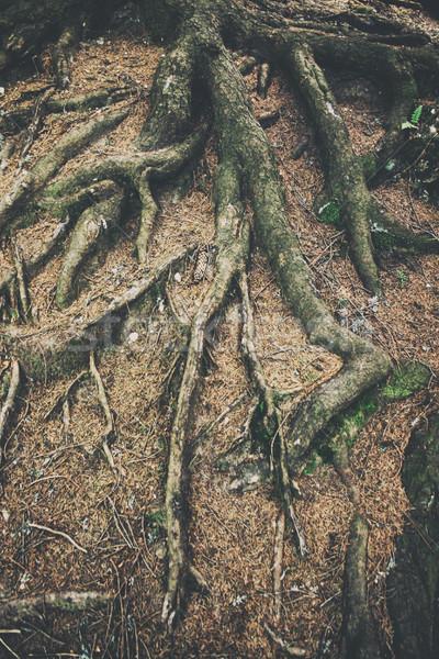 Arbre root forêt bois design croix Photo stock © orla