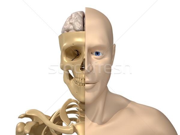 Human body, skeleton and brain Stock photo © orla