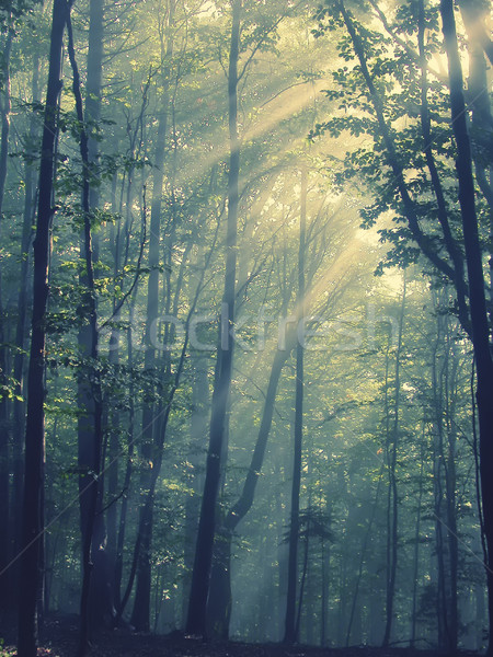 Sunbeams in the forest Stock photo © orla