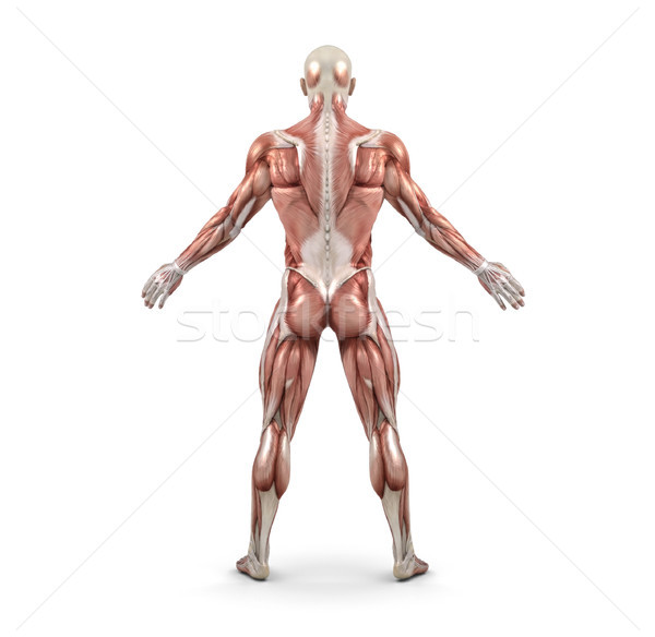 Rear view of the male muscular system Stock photo © orla