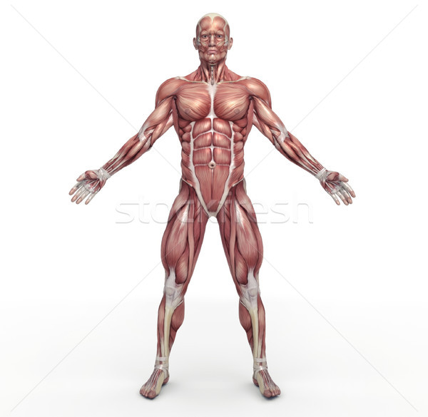 Male muscular system Stock photo © orla
