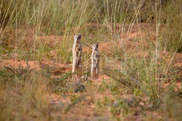 Stock foto: Stehen · zwei · Wüste · Savanne · wachsam