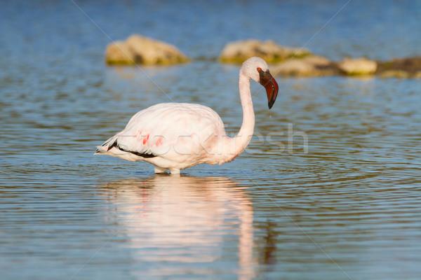 Rózsaszín flamingó áll víz vízcsepp zuhan Stock fotó © ottoduplessis