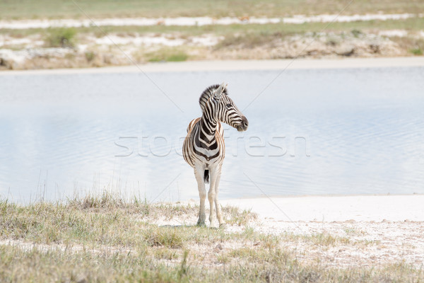 Zebra standing/looking by the dam Stock photo © ottoduplessis