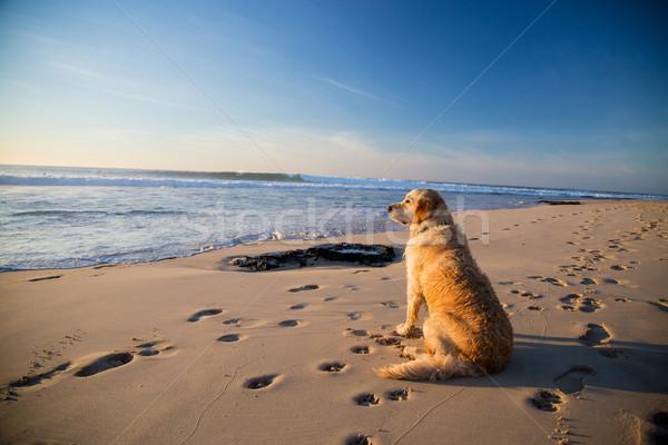 Golden retriever dog waiting on the beach Stock photo © ottoduplessis