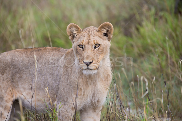 Lioness looking  Stock photo © ottoduplessis