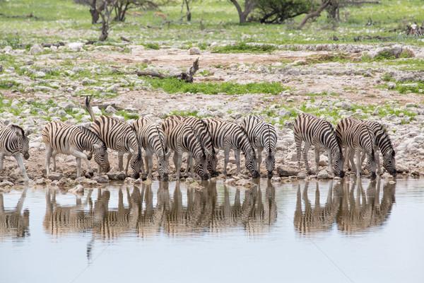 Stock photo: Zebras drinking in line