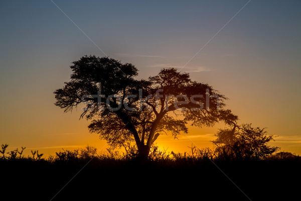 Kalahari sunset Stock photo © ottoduplessis