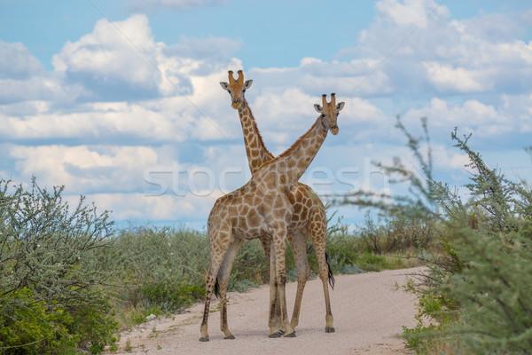 Giraffes crossing necks Stock photo © ottoduplessis