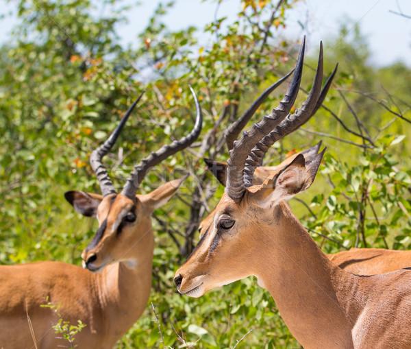 Black-faced Impala's Stock photo © ottoduplessis