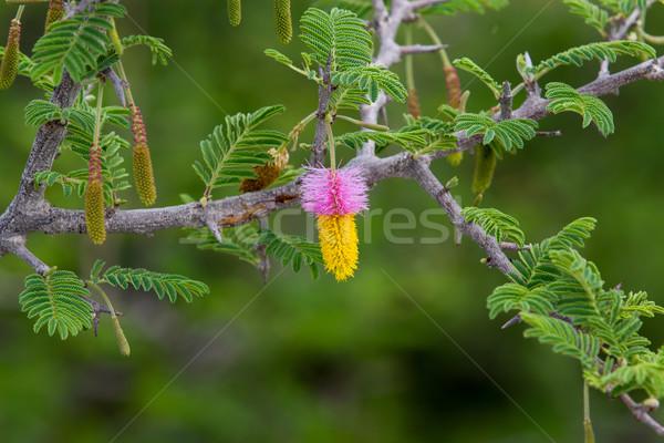 Kalahari Christmas tree Stock photo © ottoduplessis