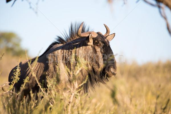 Blue Wildebeest Stock photo © ottoduplessis