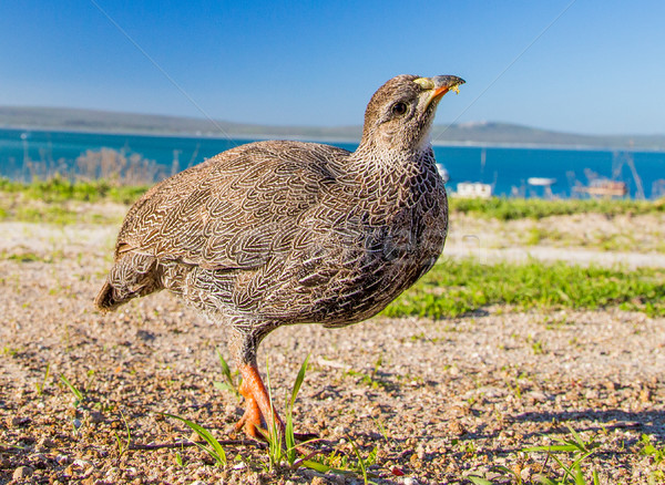 Curious Cape Francolin Stock photo © ottoduplessis