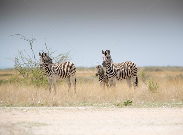 Zebralar bebek iki yetişkin genç çim Stok fotoğraf © ottoduplessis
