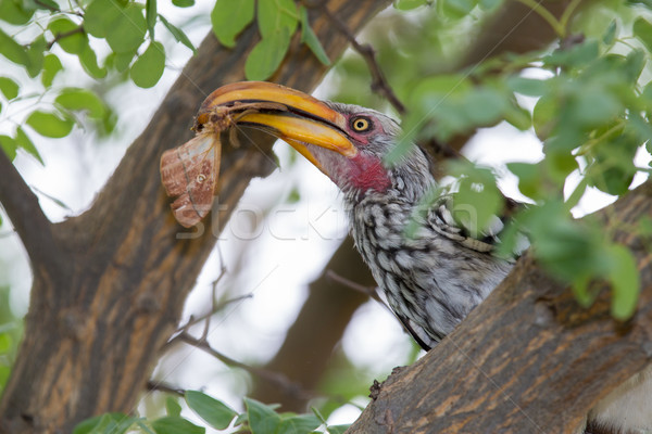 Hornbill eating a moth Stock photo © ottoduplessis