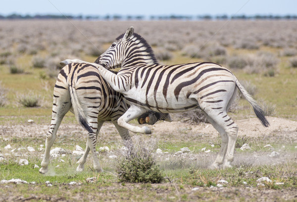 Stock photo: Zebras playing