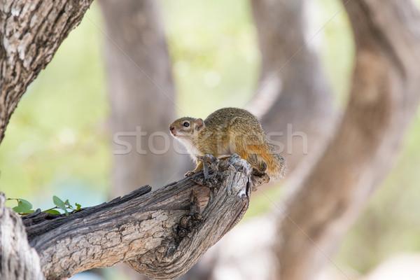 Zdjęcia stock: Wiewiórki · drzewo · posiedzenia · piękna · zielone · zwierząt