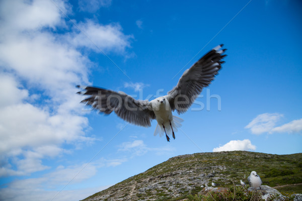 Stock photo: Flying Seagull closeup