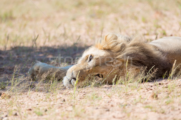 Lion lying looking Stock photo © ottoduplessis