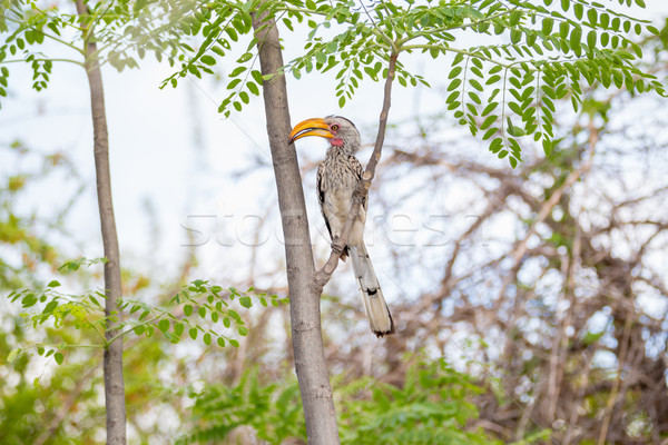 Stock photo: Hornbill in a tropical paradise