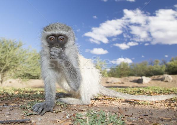 Monkey see  Stock photo © ottoduplessis