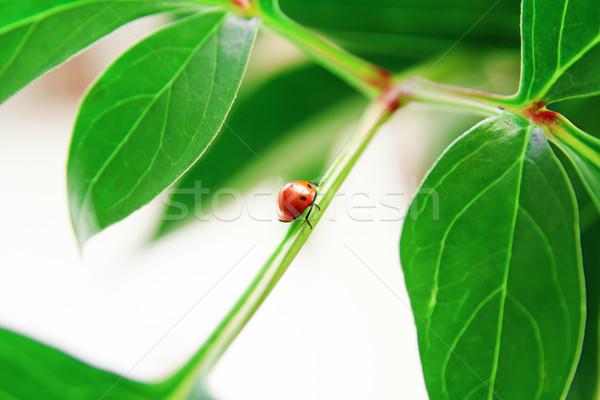 Lieveheersbeestje groen blad Rood plant natuur Stockfoto © pab_map