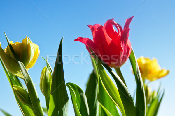 Mooie Rood tulp bloem groene bladeren natuur Stockfoto © pab_map