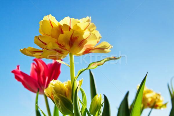 Mooie Geel tulp bloem groene bladeren natuur Stockfoto © pab_map