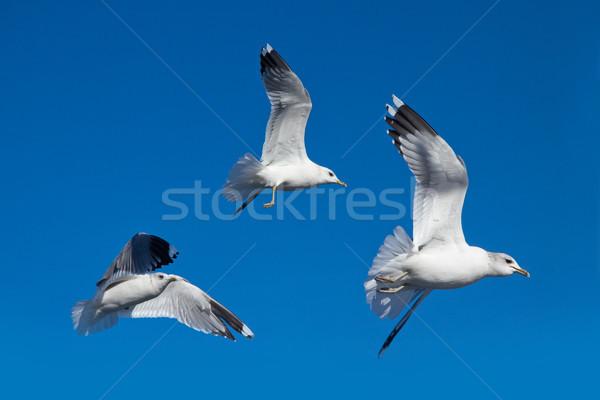 Zeemeeuw blauwe hemel vogels vlucht hoog hemel Stockfoto © pab_map