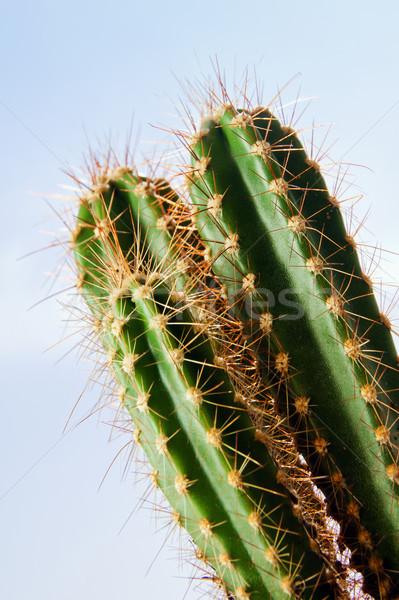 Cactus plant Stock photo © pab_map
