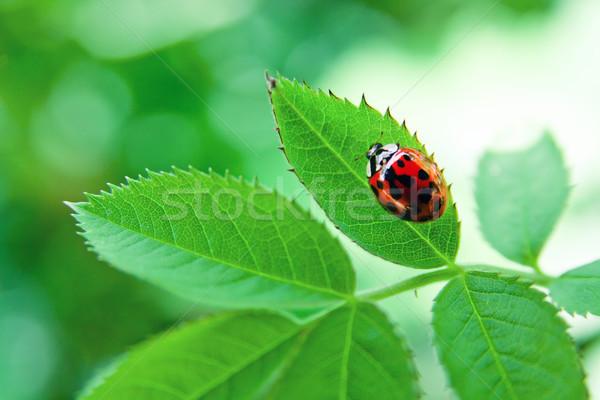 Katicabogár zöld levél piros növény közelkép természet Stock fotó © pab_map