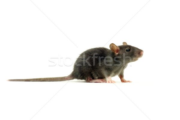 rat   Stock photo © Pakhnyushchyy