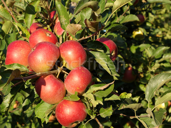 apple-tree Stock photo © Pakhnyushchyy